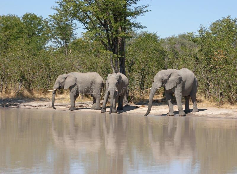 слоны Ботсваны стоковые изображения