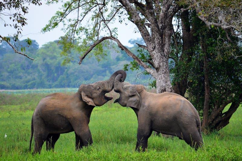 Слоны в влюбленности, Шри-Ланке стоковые изображения