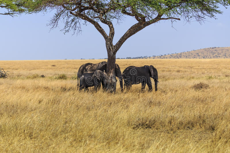 Слоны в кратере Ngorongoro в Танзании стоковое изображение
