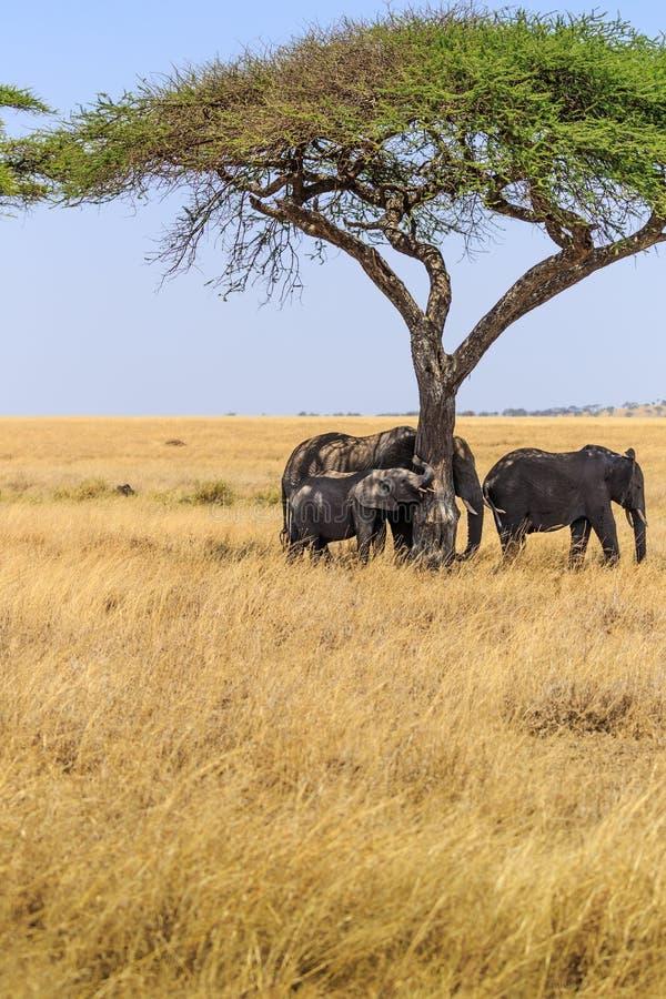 Слоны в кратере Ngorongoro в Танзании стоковые изображения