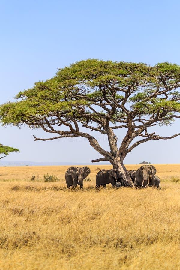 Слоны в кратере Ngorongoro в Танзании стоковое изображение rf