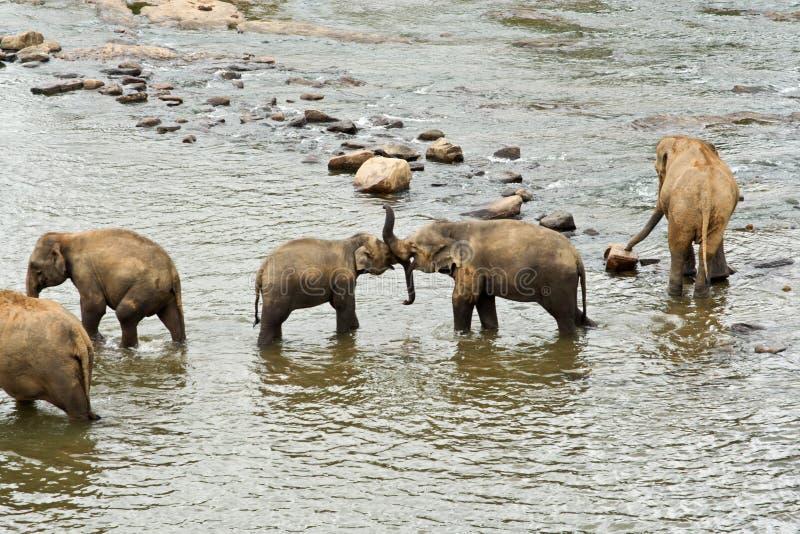 Download Слоны в реке стоковое изображение. изображение насчитывающей группа - 40579999
