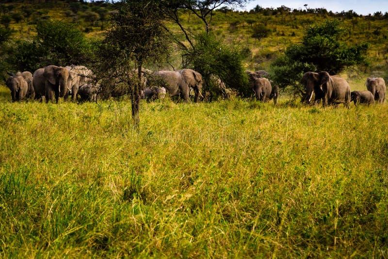 Слоны в Serengeti стоковое фото rf