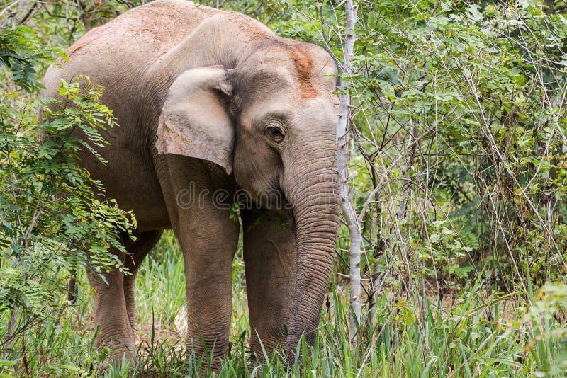 Слоны едят траву в национальном парке, Таиланде стоковое фото rf
