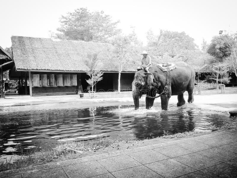 Слоны и вода стоковые изображения rf