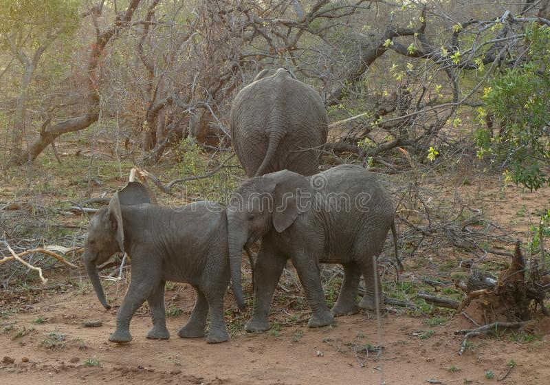 Слоны младенца играя в смешном пути в саванне стоковые фото