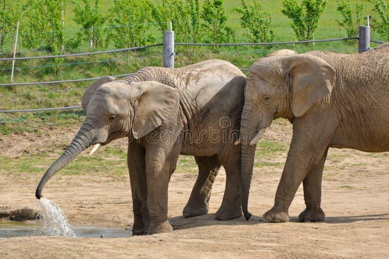 Download Слоны на paddock стоковое изображение. изображение насчитывающей сено - 33726457