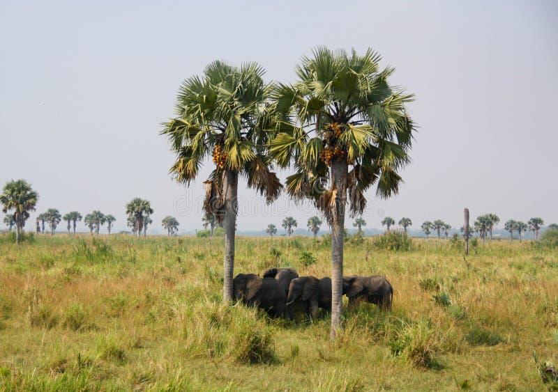 слоны одичалые стоковое фото