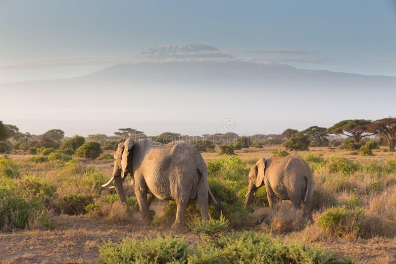 Слоны перед Килиманджаро, Amboseli, Кения стоковые фотографии rf