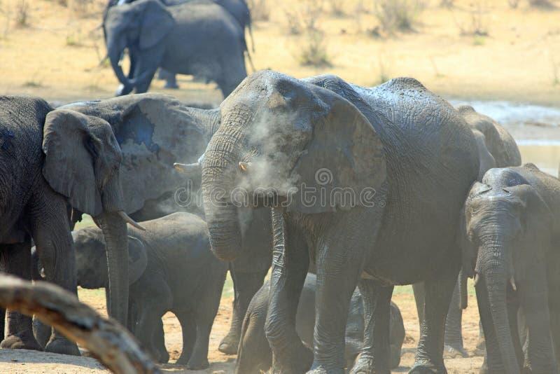 Слоны собирая на waterhole с летанием пыли стоковая фотография