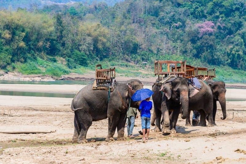 Слоны для ехать, который нужно путешествовать в лесе, Таиланде стоковые изображения rf