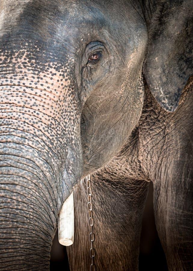 Слон Азии плачет стоковая фотография rf