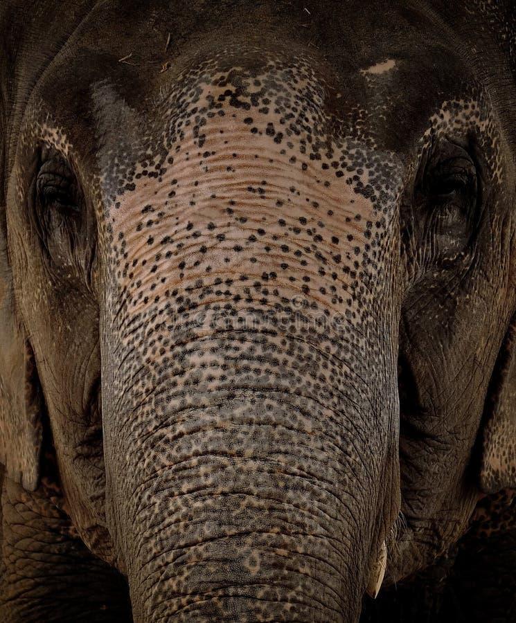 Слон Азии стороны стоковая фотография