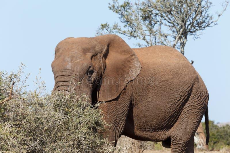 Слон Буша стоя и пряча его хобот стоковые фотографии rf