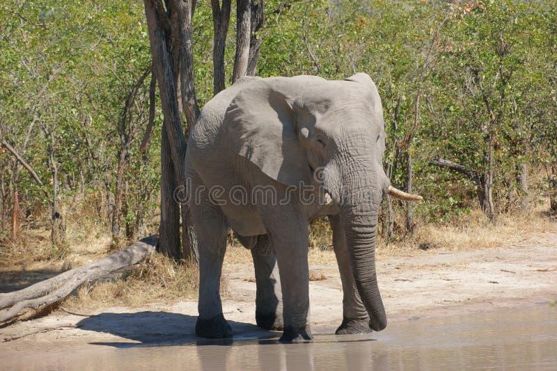 Слон в Ботсване стоковое изображение rf