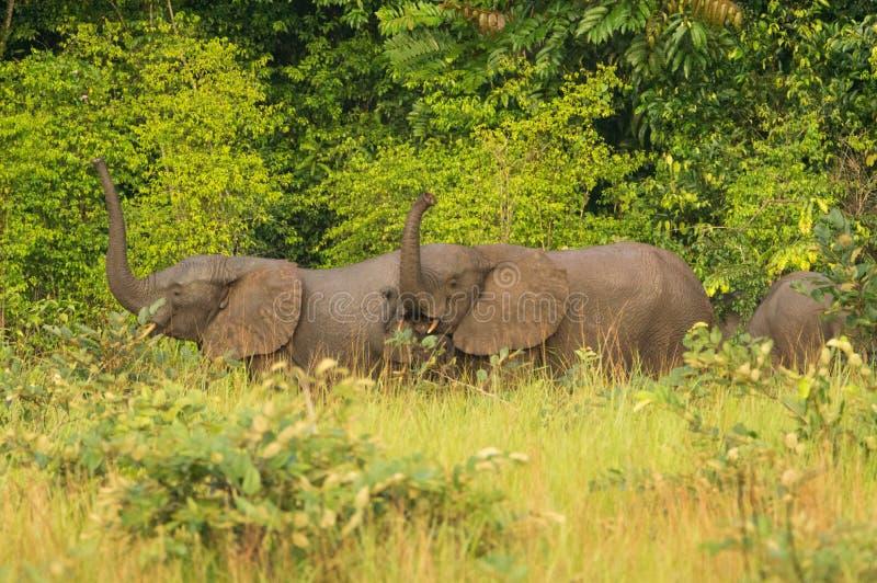 Слон леса & x28; Cyclotis& x29 Loxodonta; в Конго, запас Conkouati стоковые фотографии rf