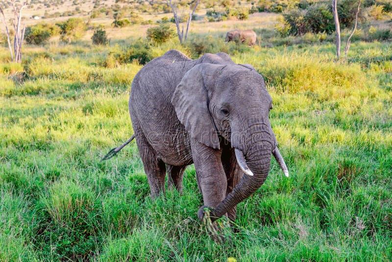 Слон есть траву в курорте Mara Masai, Кении стоковое фото rf