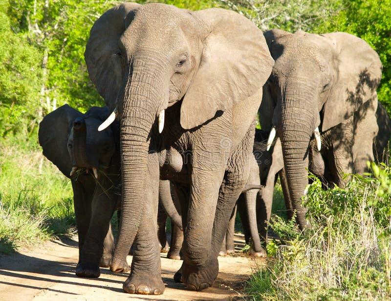 Слон и семья Bull африканца стоковые изображения rf