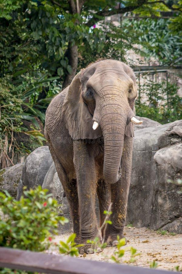 Download Слон на зоопарке Тайбэя стоковое изображение. изображение насчитывающей обезьяна - 41650617