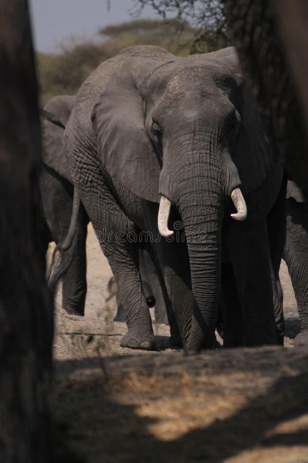 Слон среди деревьев стоковое изображение rf