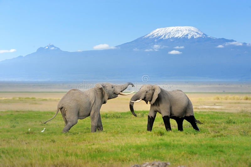 Слон с Mount Kilimanjaro стоковые изображения rf