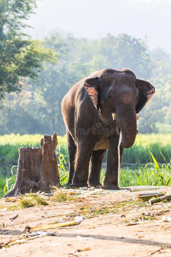слон тайский стоковые изображения