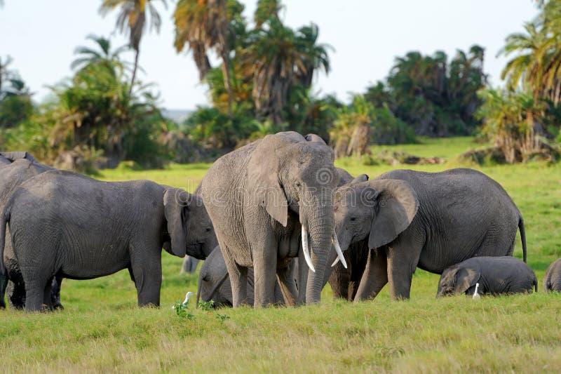 Download Слон стоковое фото. изображение насчитывающей парк, икра - 40583930