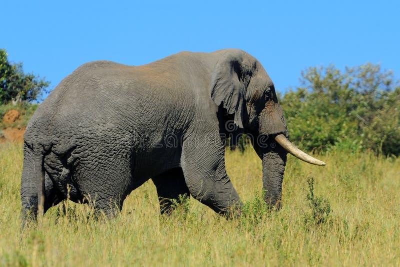 Download Слон стоковое фото. изображение насчитывающей одно, pachyderm - 40584286