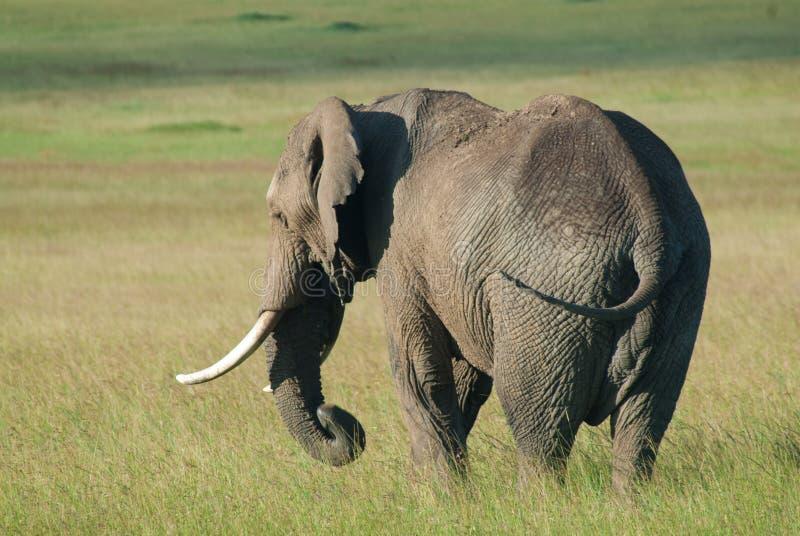 Слон Bull самостоятельно на Masai Mara, Африке (Кения) стоковое изображение