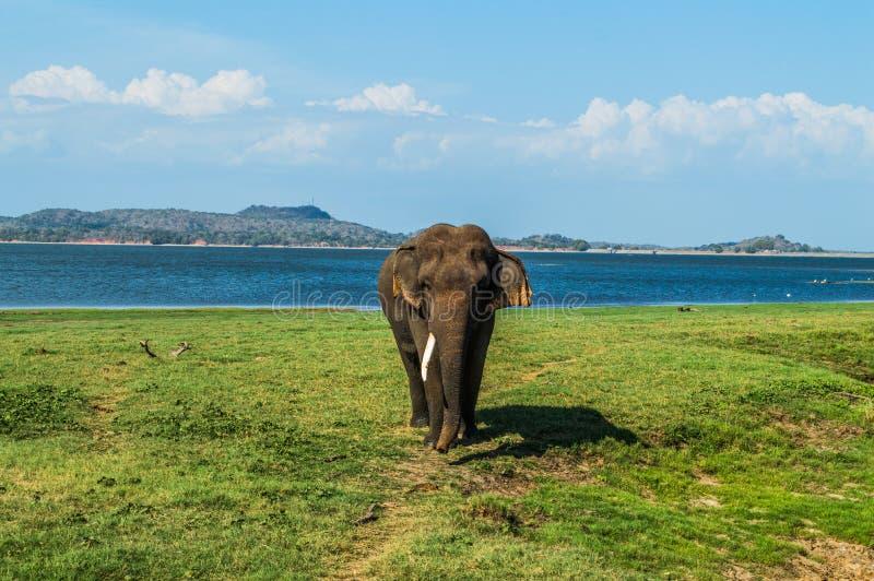 Слон Bull с одним бивнем на Waterhole национального парка Minneriya в Шри-Ланке стоковая фотография rf