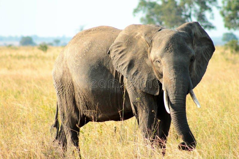Слон Bull стоковая фотография