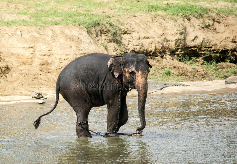 Слон Bull стоковые фото