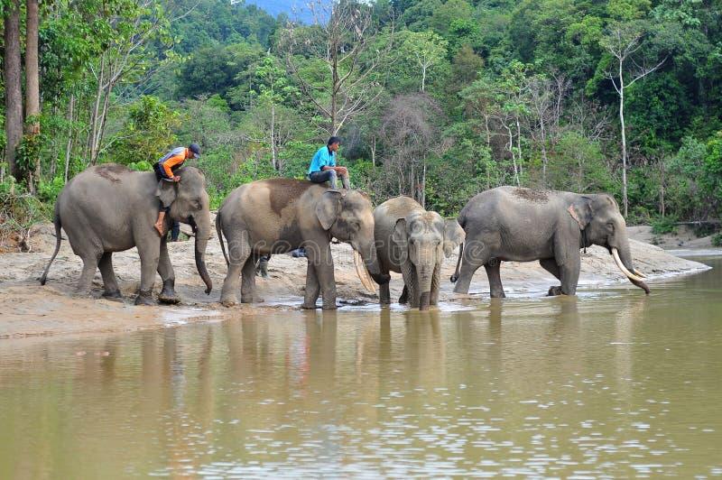 Слон ` s Суматры стоковые фото