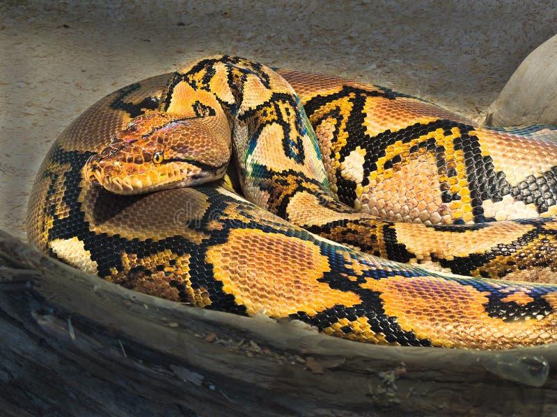 С ромбовидным рисунком на спине Rattlesnake Adamanteus, crotalus Kingsnake, sidewinder стоковое изображение rf