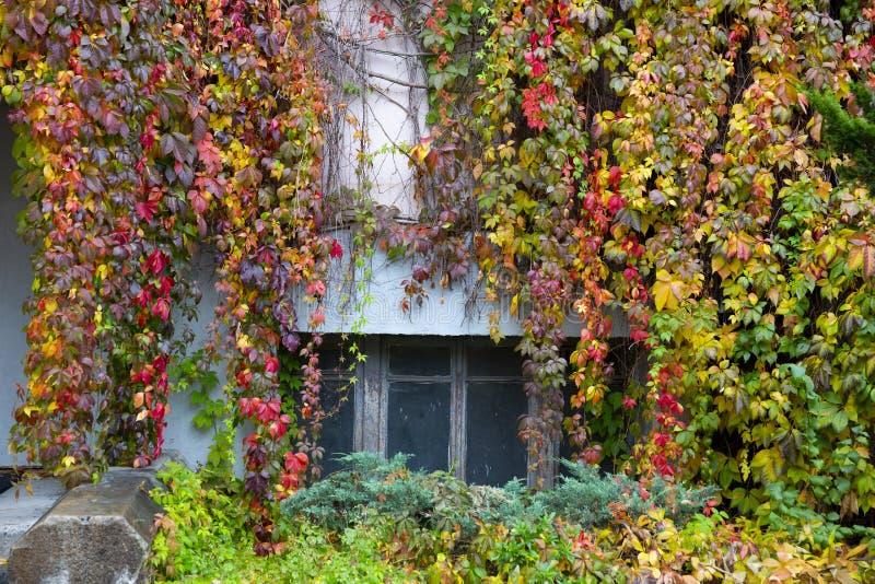? buissons rouges, jaunes et violets colorés de raisins sauvages image libre de droits