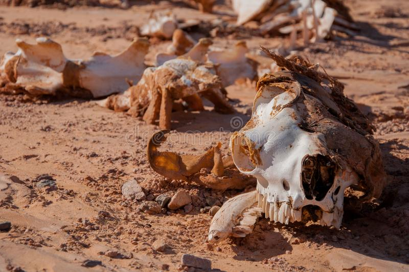 Сamel skelett som ligger på sanden i öknen arkivfoton