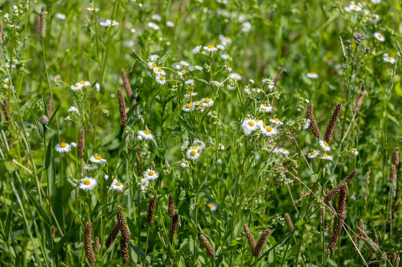 Ð¡amomile field. Meadow of chamomile flowers of at sunlight. Natural summer background stock photos