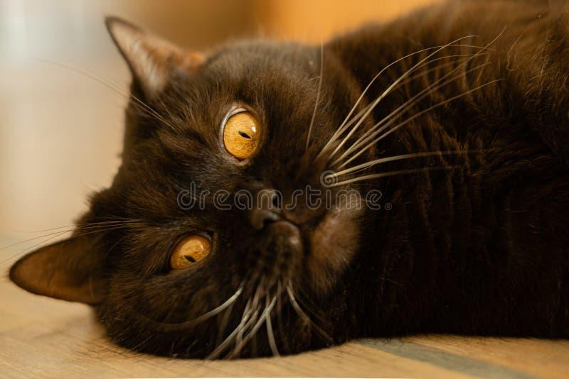 ?at Schotse rechte chocoladebruin - foto van een het liggen huisdier stock fotografie