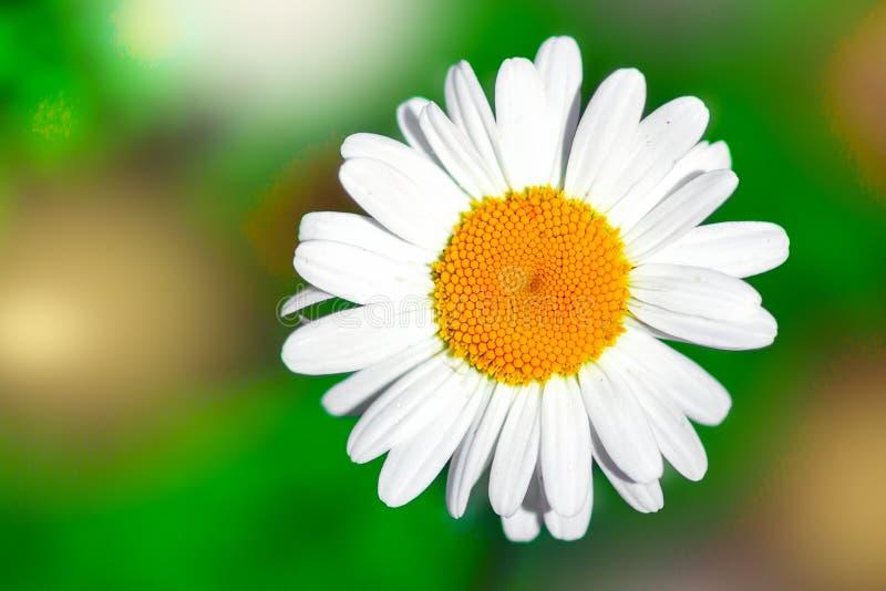 Ð¡hamomile flower in garden. Summer floral landscape. Macro. Top view. stock photos