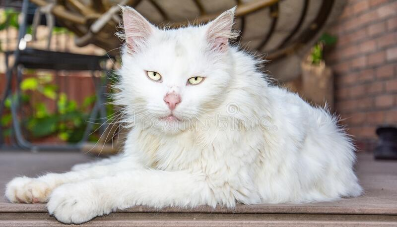 Ð¡hic cat with white eyes royalty free stock images
