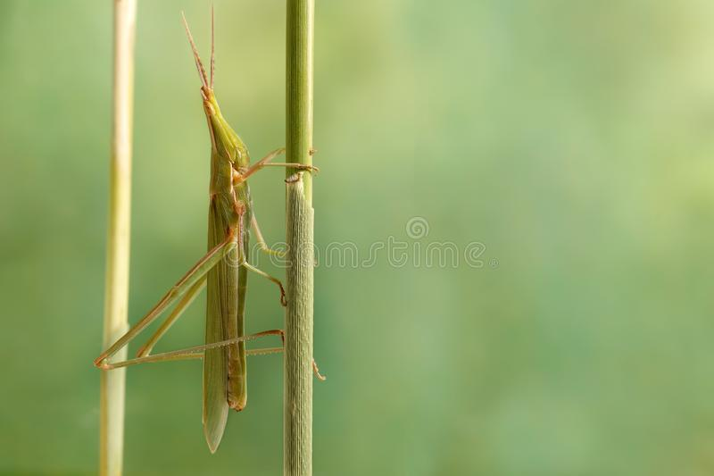 Ð¡loseup Acrida oxycephala climbs on the twig on green leafs background. royalty free stock image