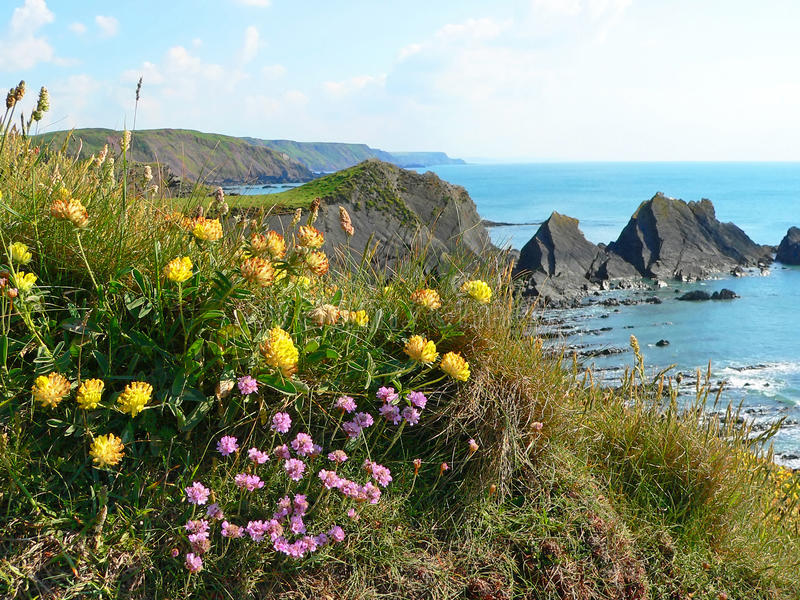 Ð¡oastal landscape with flowers, cornwall, south england royalty free stock images