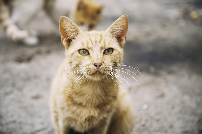Portrait of a cute homeless red hair wild kitty cat  in the street.  Vagrant cats. royalty free stock image