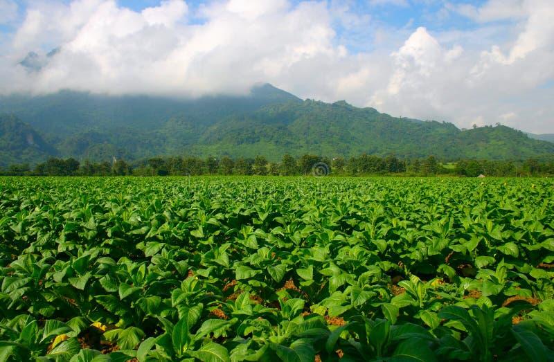 табак Таиланда фермы стоковые изображения