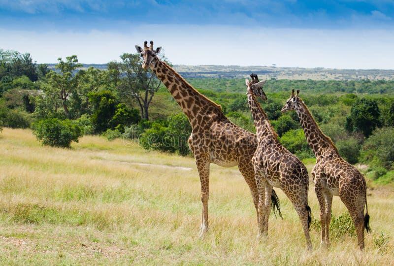 Табуните если жирафы в национальном парке mara Masai стоковое фото
