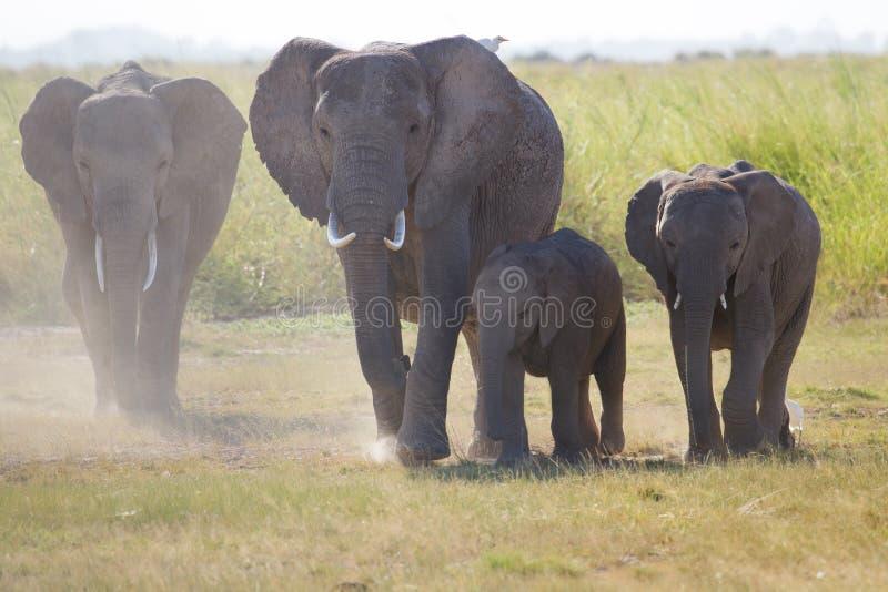 Табуните если слоны в национальном парке Amboseli стоковая фотография rf