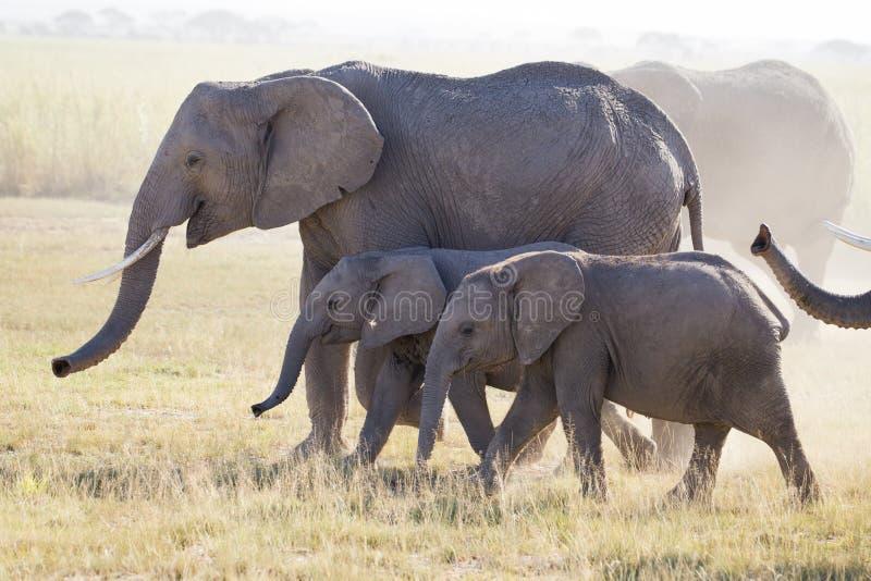 Табуните если слоны в национальном парке Amboseli стоковые изображения