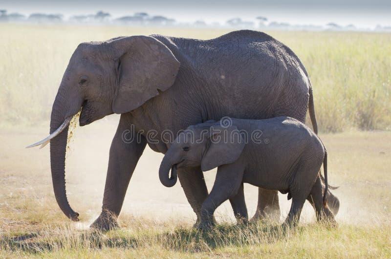 Табуните если слоны в национальном парке Amboseli стоковые фотографии rf