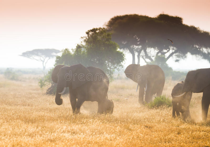 Табуните если слоны в национальном парке Amboseli стоковые изображения rf