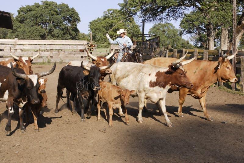 табунить ковбоя скотин стоковое фото